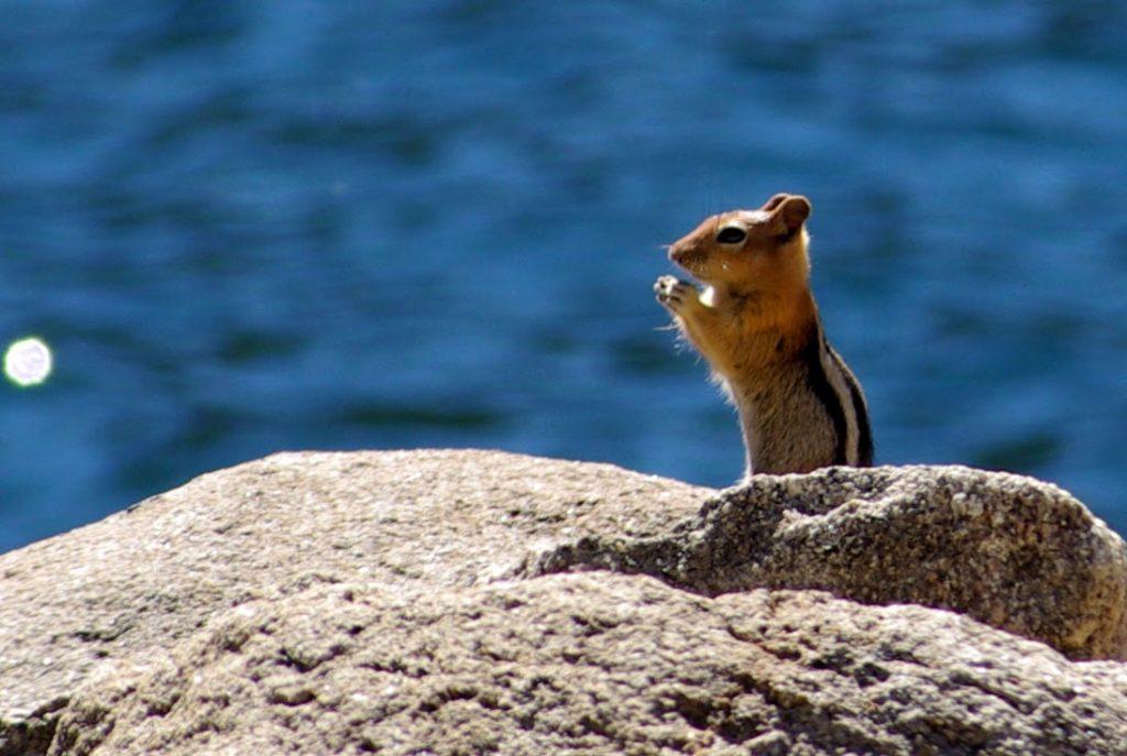 Lac de Loon, Californie, Chipmunk, leplusbeauvoyage.com
