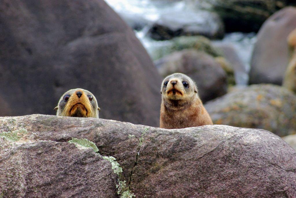 Bébés phoques à Martin's Bay, Hollyford Track, Fiordland, NZ,leplusbeauvoyage.com