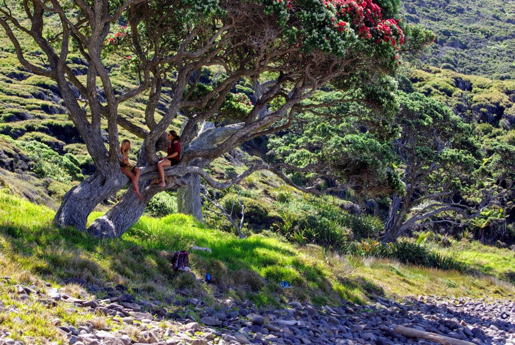Pohutukawa, Great Barrier Island, NZ, leplusbeauvoyage.com