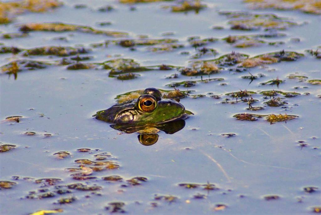 grenouille dans la mare, leplusbeauvoyage.com