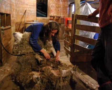 Tonte mouton, HelpX Nouvelle Zélande, leplusbeauvoyage.com